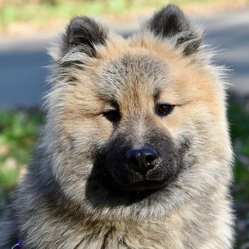 Volwassen hond